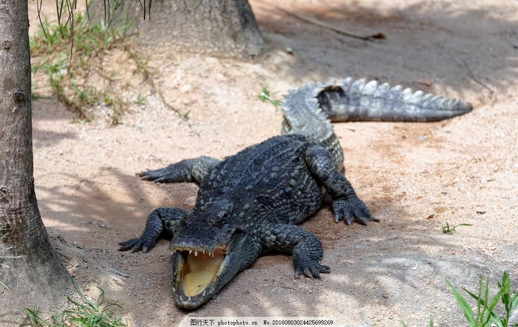 鳄鱼 爬行动物 凶猛 卵生动物 冷血动物 血盆大口 摄影 生物世界 野生