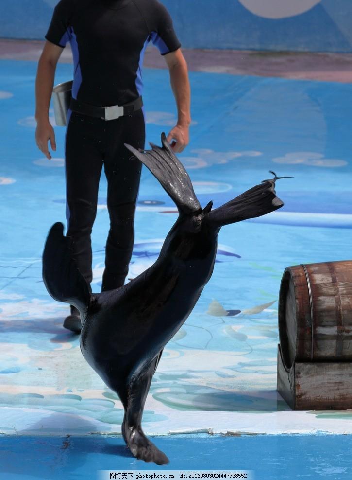海狮表演 动物 单手撑立 驯化 动物表演 摄影