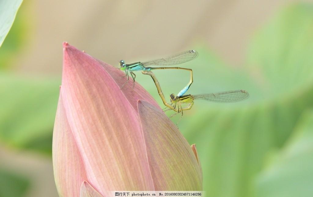 蜻蜓 荷花 荷花骨朵 虫子 节肢动物 飞虫 蜻蜓交配 动物世界