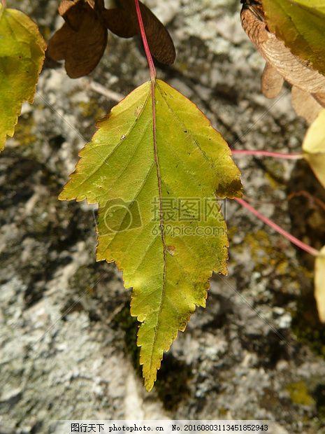 阳光下的树叶 消防枫 叶子 智能 锯齿状 小叶 槭荞亚种 枫树叶图片