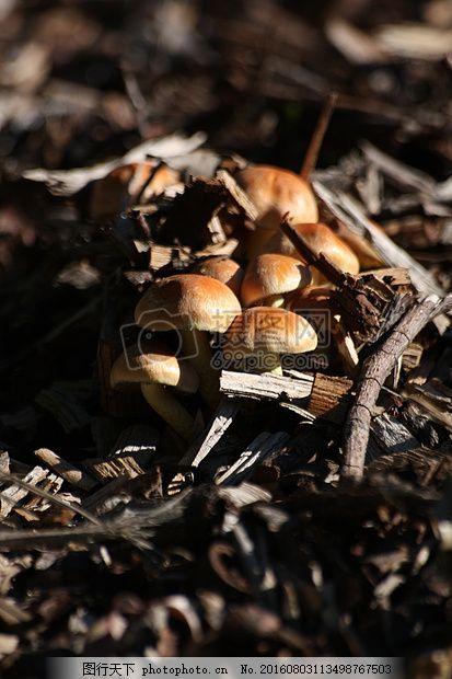 蘑菇 林地 真菌 森林 秋走 菌类 黑色