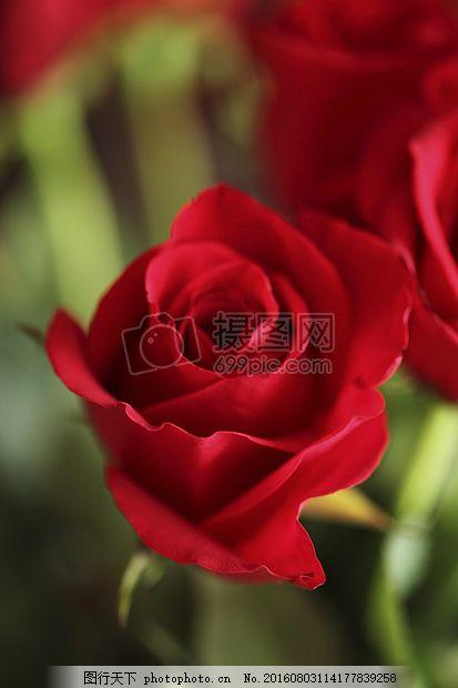 盛开的玫瑰花 红色 红玫瑰 鲜花 自然 夏天盛开图片