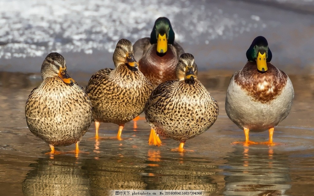 河边鸭子 河边鸭子高清图片素材下载 野生动物 五只鸭 水鸭 野生鸭子