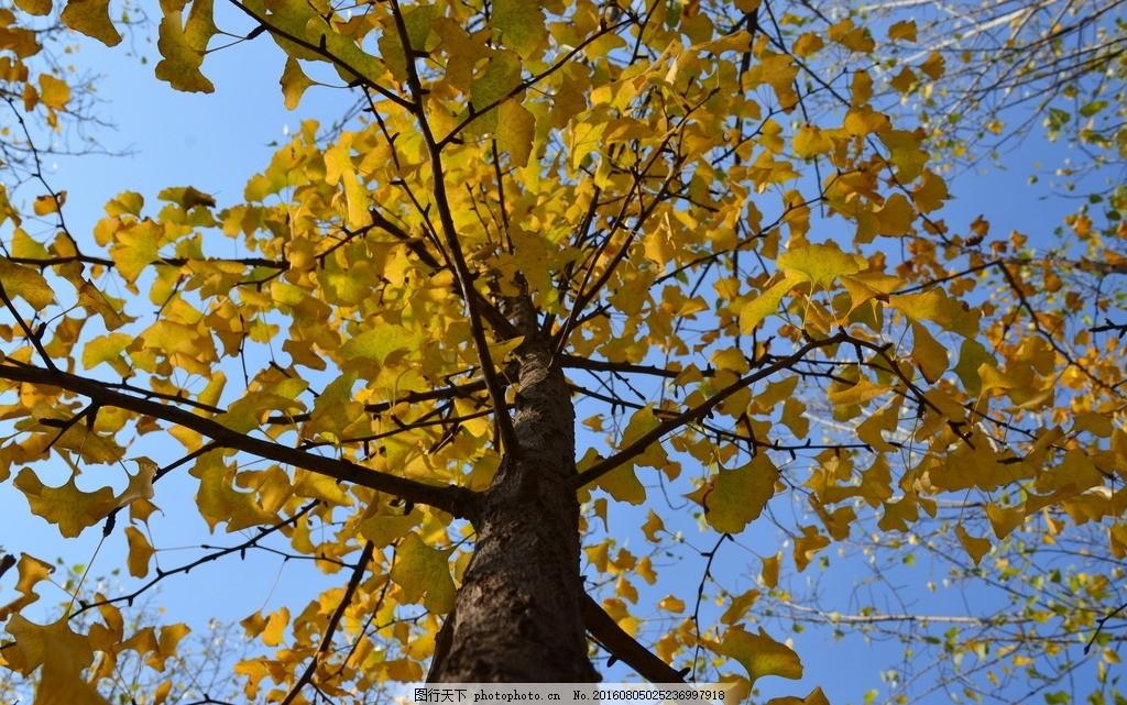 银杏树 银杏树叶 秋天 蓝天 树叶 秋叶 西安 摄影 生物世界 树木树叶