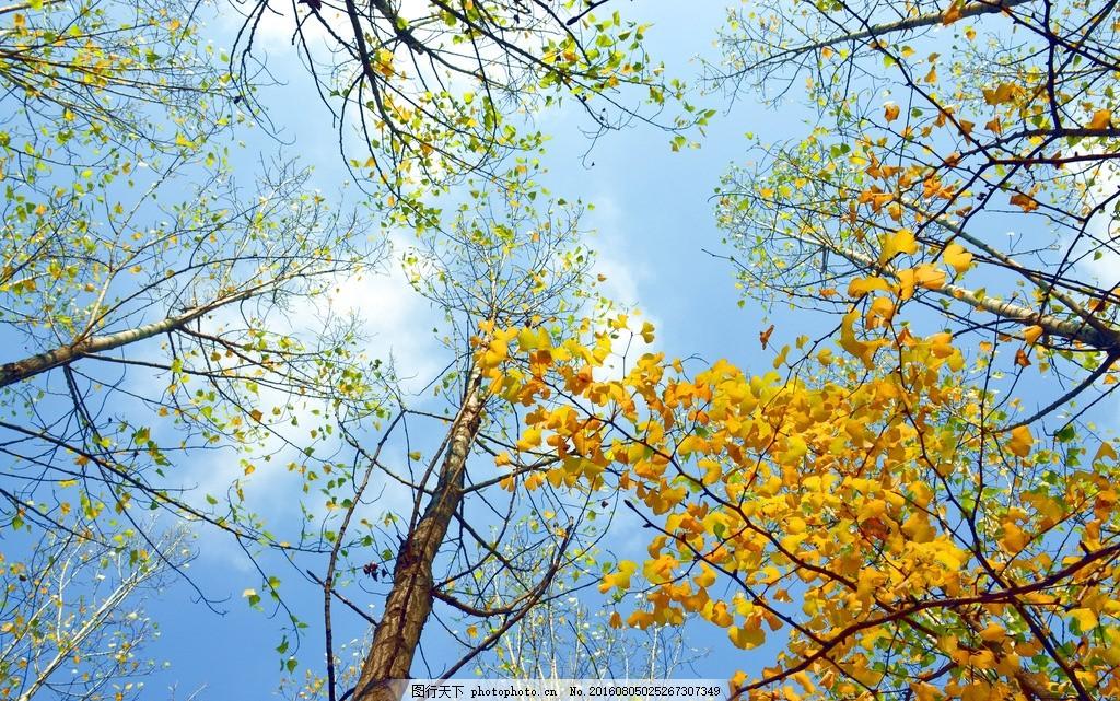 银杏树 银杏树叶 秋天 蓝天 秋叶 西安 摄影