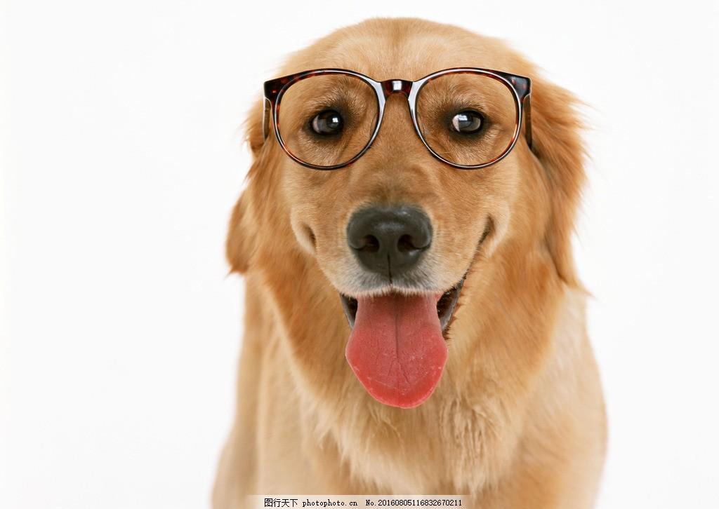 高清戴眼镜金毛图片下载 狗狗 小狗 可爱 呆萌 眼镜