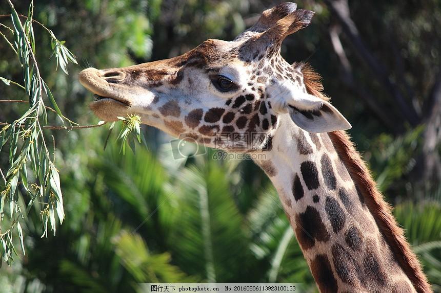 森林里觅食的长颈鹿 动物 自然 野生动物 活力 斑点 红色