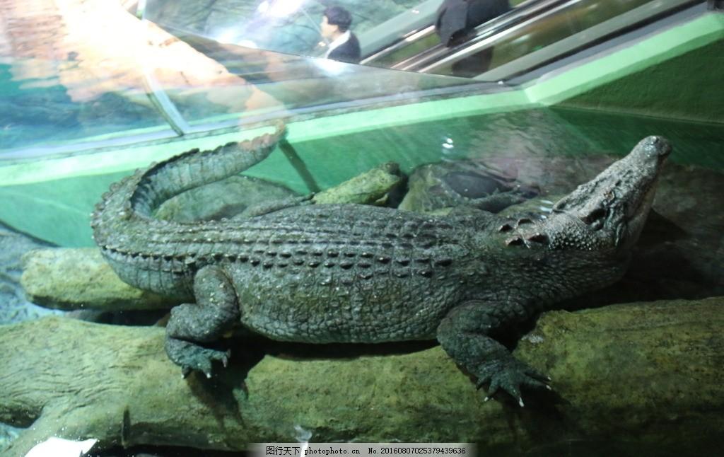 鳄鱼 爬行ag游戏直营网|平台 鳄鱼特写 鳄鱼养殖 鳄鱼池 鳄鱼休息 皮革纹理素材