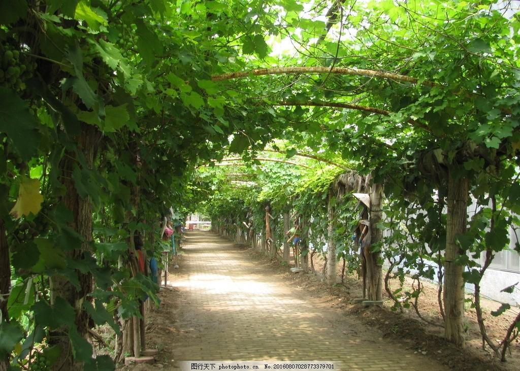 呀路古 温室大棚 呀路古风景 葡萄架 小路 呀路古美景 园林美景