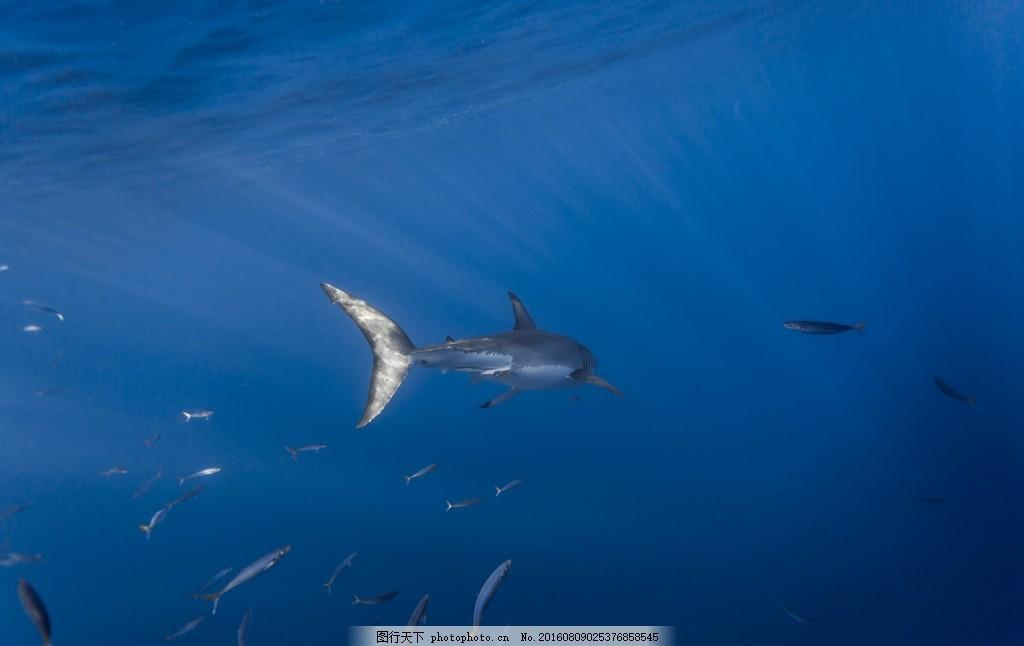 鲨鱼 海底世界 大鲨鱼 唯美 可爱 动物 生物 野生 凶猛 鲸鲨