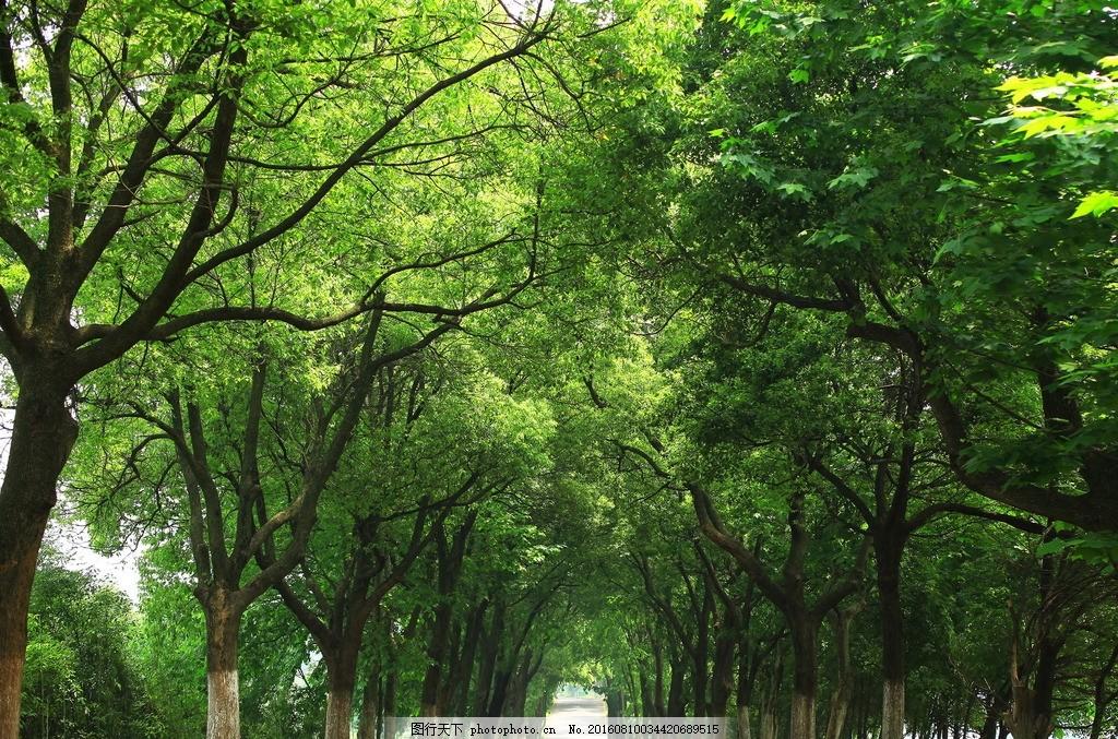 林荫大道 树荫 林荫小道 林荫小道摄影 绿树 并排大树 摄影 自然景观