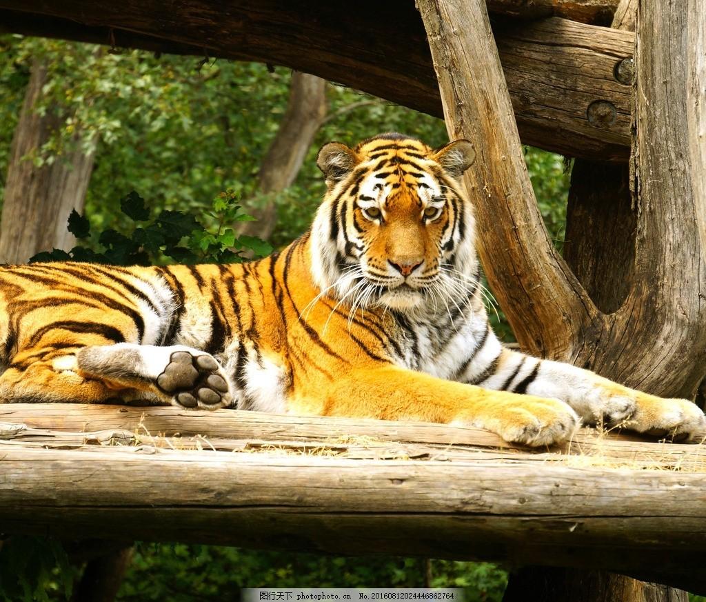 虎 老虎 华南虎 雪山 森林之王 虎头 野生动物 猫科 百兽之王 动物
