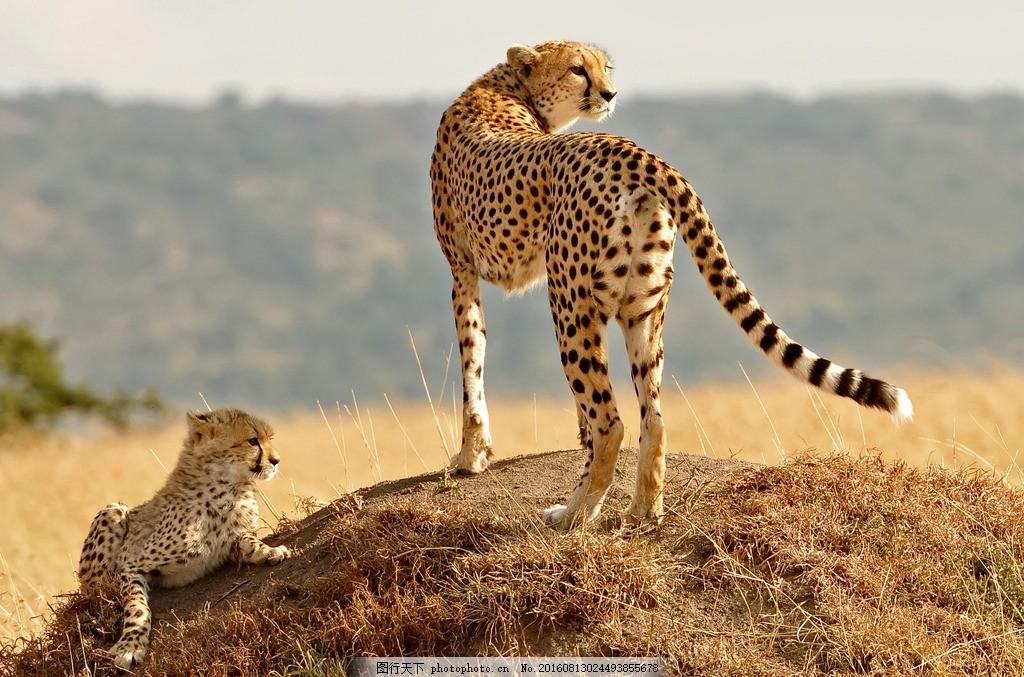 摄影 生物世界 野生 非洲 丛林 金钱豹 猎豹 花豹 银豹子 猫科动物