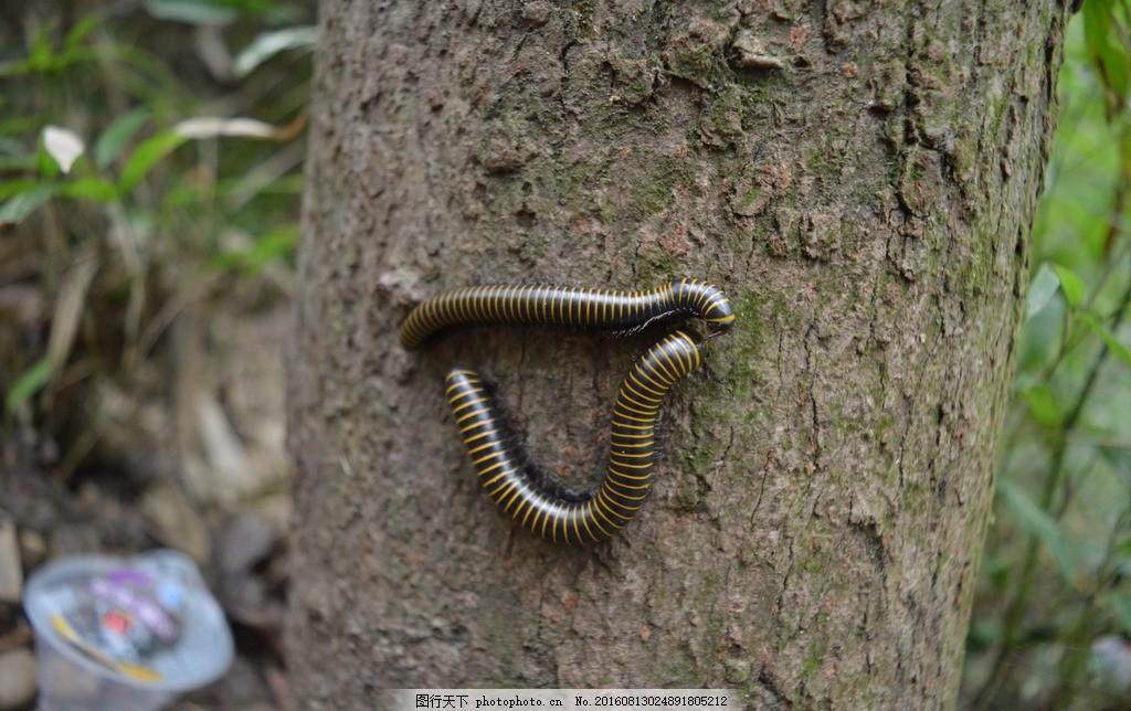 蜈蚣 昆虫 药材 树林 摄影 摄影 生物世界 昆虫 300dpi jpg