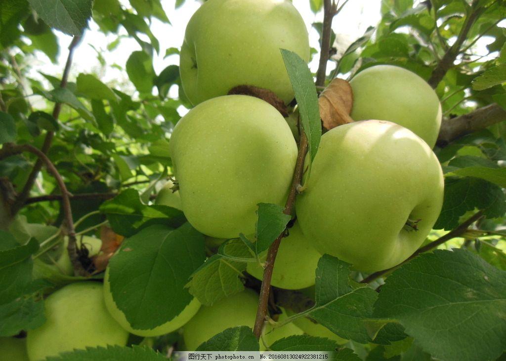苹果 青苹果 果实 苹果树 绿叶 叶子 新鲜水果 一组水果图片图片