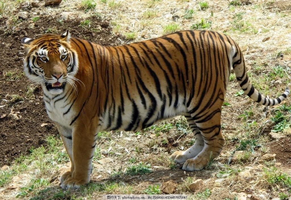 老虎 动物 动物园 猫科动物 兽中之王 草丛 老虎特写 动物摄影