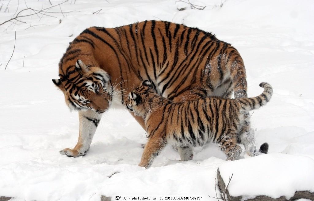 动物 动物园 猫科动物 兽中之王 草丛 老虎特写 动物摄影 颜荨子桑 五