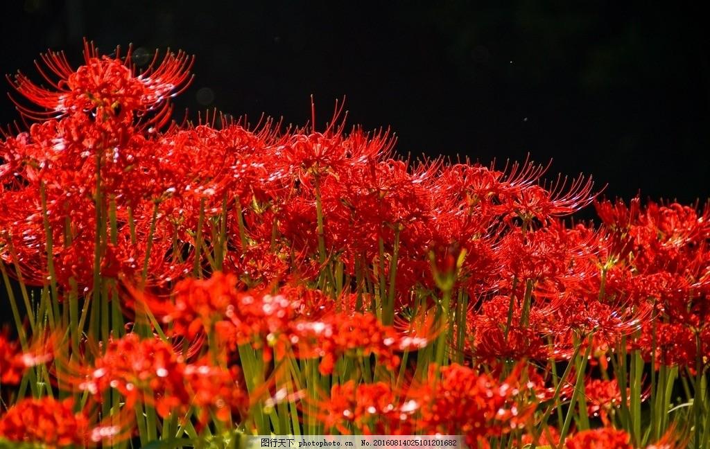 彼岸花 鬼擎火 地狱花 龙爪花 红花石蒜 火照之路 唯美 植物