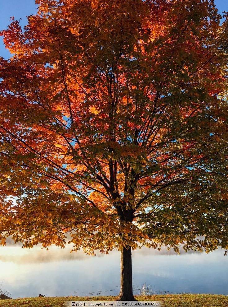 大树 椰树 海南 树叶 枫叶 红叶 红色枫叶 树林 林场 林间道路 树木图片