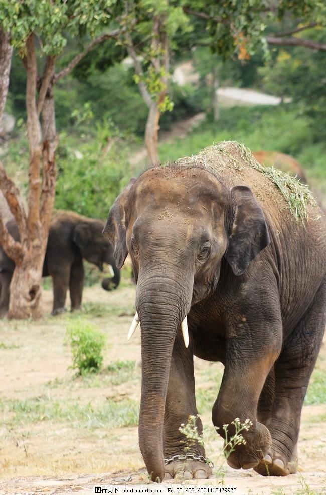 大象 唯美 可爱 动物 野生 摄影
