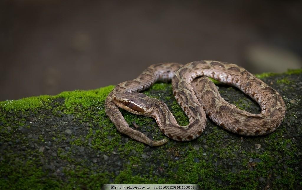 蟒蛇 野生蛇 野生蟒蛇 蟒蛇皮纹理 大蟒蛇 黑色蟒蛇 皮草非洲蟒蛇