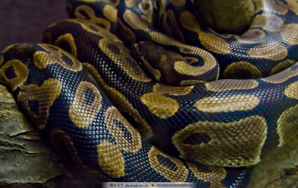 蟒蛇皮纹理 野生蛇 野生蟒蛇 大蟒蛇 黑色蟒蛇 皮草非洲蟒蛇 高清