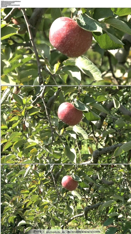 苹果树果实