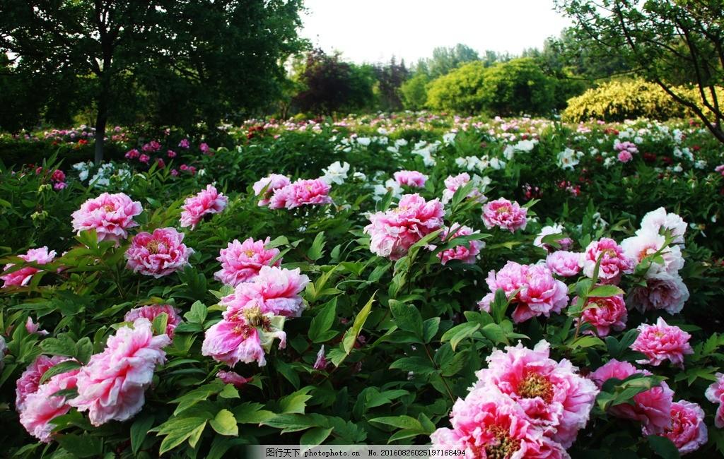 盛开的牡丹园 牡丹花园 牡丹花海 花海 牡丹 摄影 生物世界 花草 72