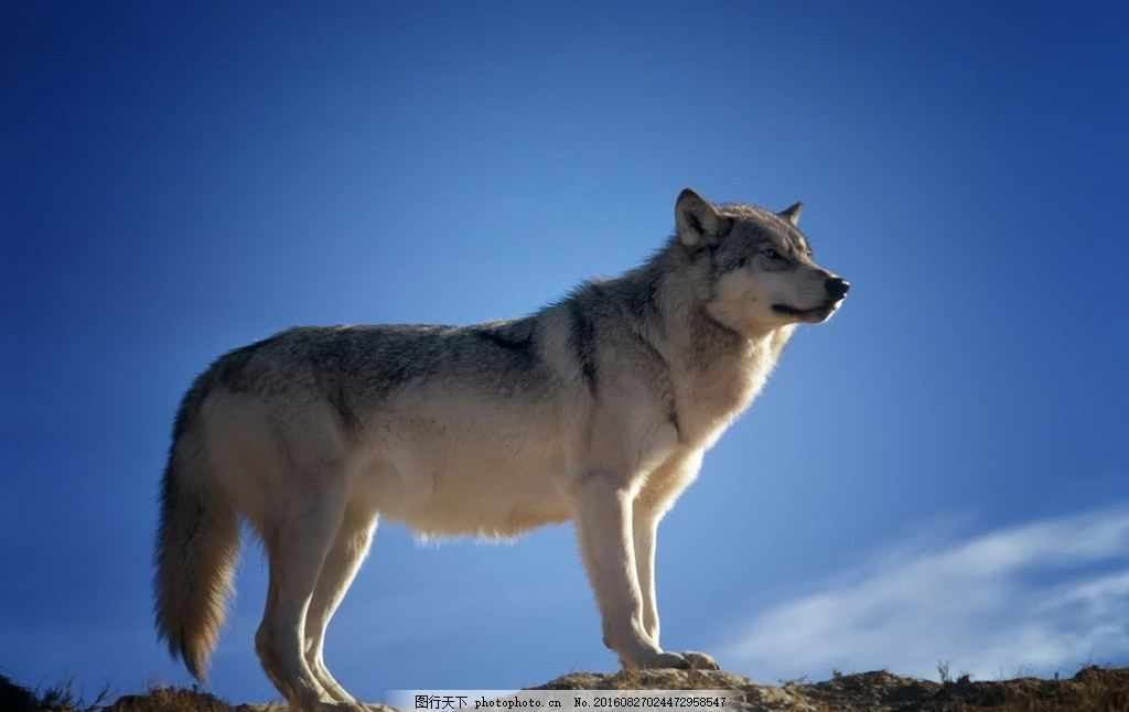 一头野狼 狼图片 灰狼 孤狼 一头狼 豺狼 野生狼 哺乳动物 动物