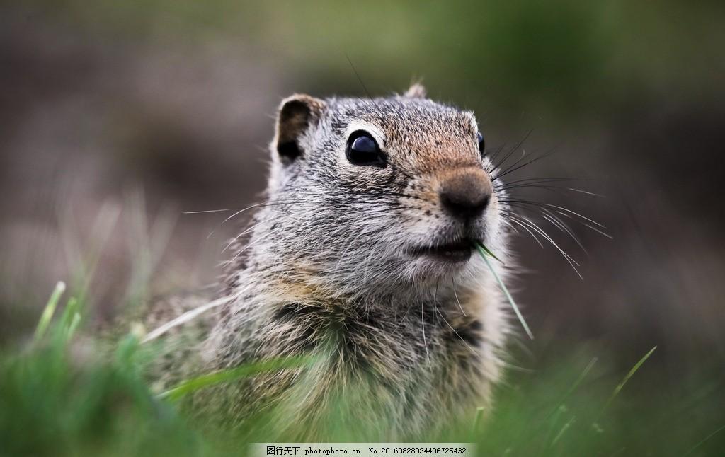 仓鼠 老鼠 宠物 小动物 鼠类 小仓鼠 小宠物 啮齿动物 哺乳动物 动物