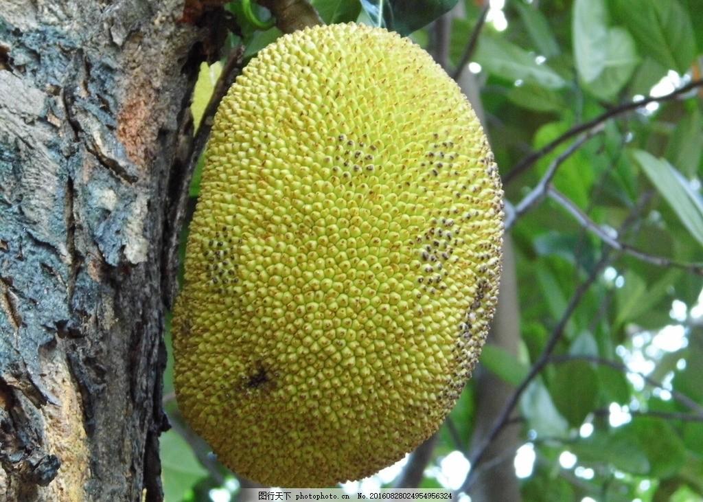 木菠萝 菠萝木 菠萝树 大树菠萝 牛肚子果 菠萝大树 水果 菠萝特写 热