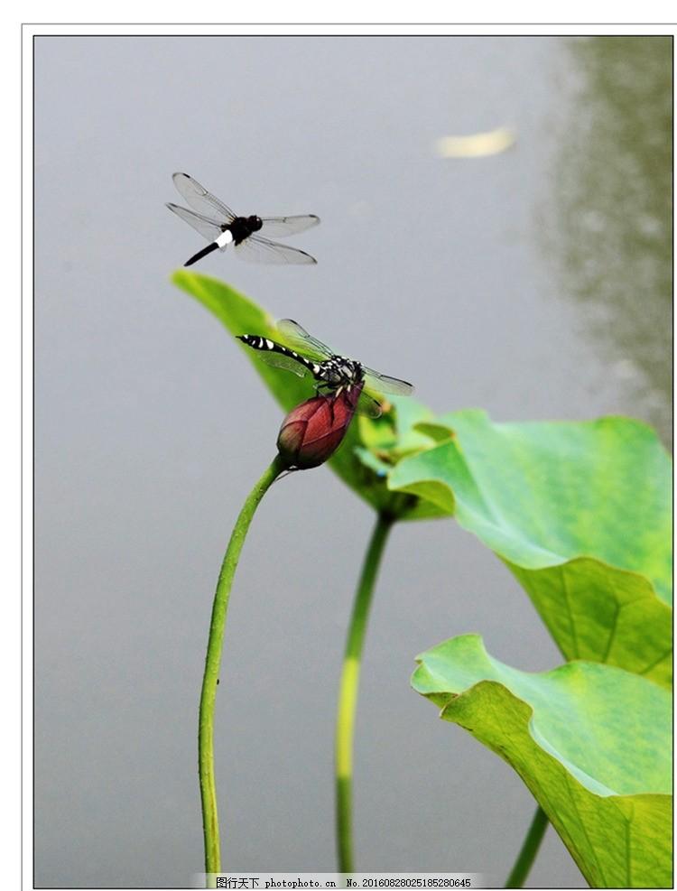 蜻蜓 荷叶 小荷尖尖 蜻蜓与荷花 花 植物动物 摄影 生物世界 花草 300
