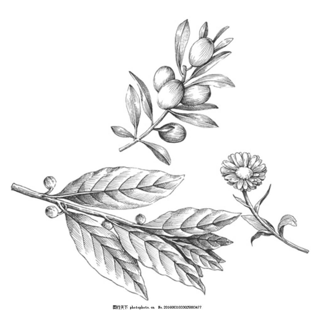 花草素描 花草 素描 线稿 菊花 橄榄枝 金盏花 线条 黑白 植物花卉