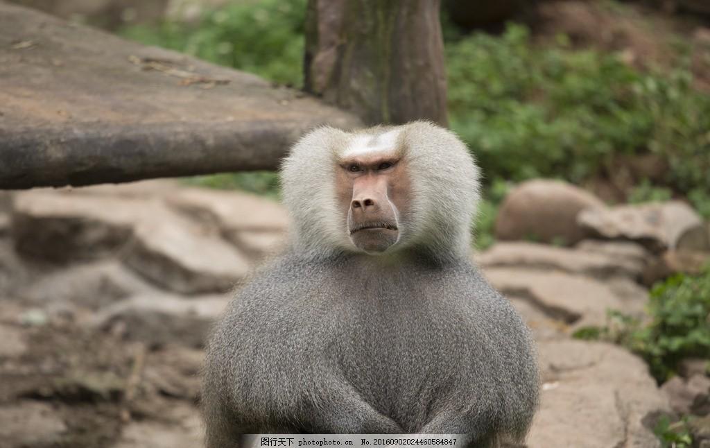阿拉伯狒狒 狒狒 猴子 动物 威猛 霸气 斗笠 摄影 生物世界 野生动物