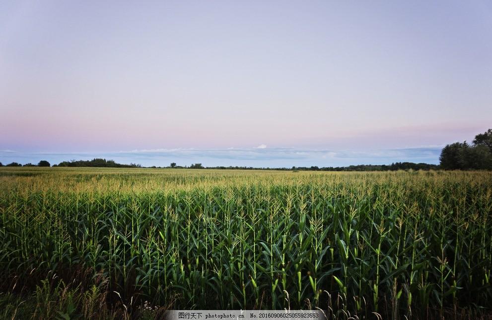 绿色的麦子