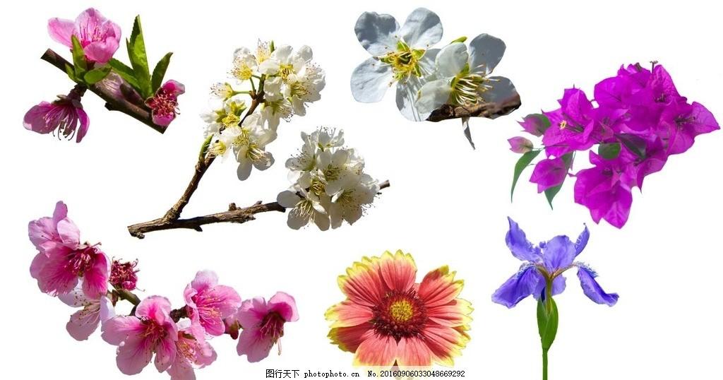 桃花 鸢尾 梨花 李花 菊花 三角梅 透明背景 花朵素材 设计 psd分层素
