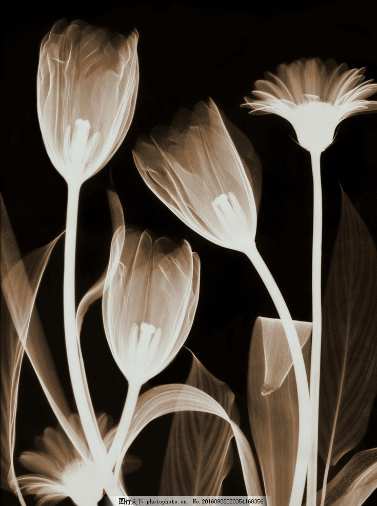 郁金香 透明花 黑白画 透明郁金香 花卉 欧式透明花艺 设计 底纹边框