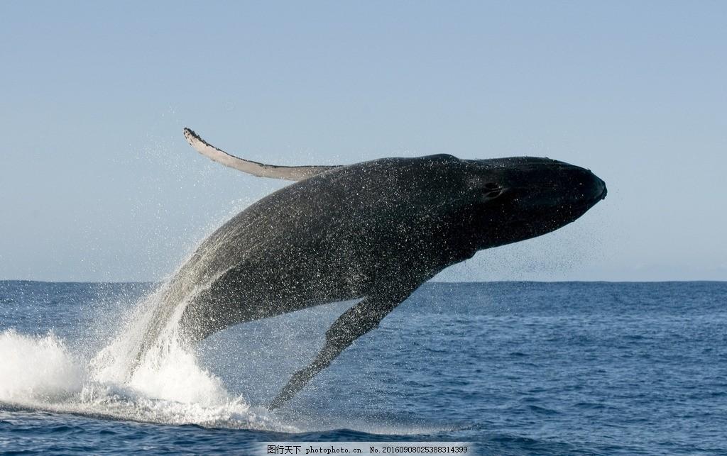 鲸鱼 母子 哺乳动物 蓝色海洋 摄影 大自然美景