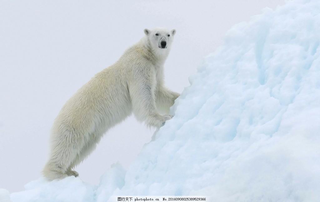 北极熊 觅食 南极洲 哺乳动物 蓝色海洋 海洋 摄影 大自然美景 摄影