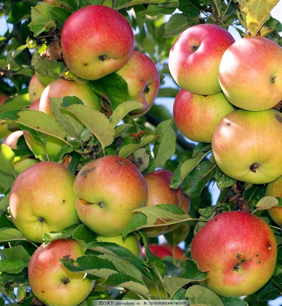 苹果 丰收 红苹果 秋季 秋天 摄影 各色水果