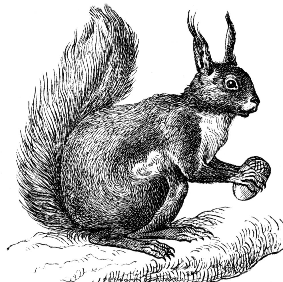 素描松鼠 哺乳动物 树松鼠