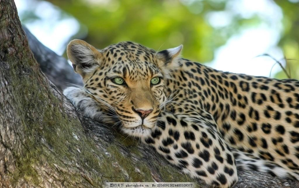 花豹 大树 摄影 森林 野兽 动物 摄影 生物世界 野生动物 72dpi jpg