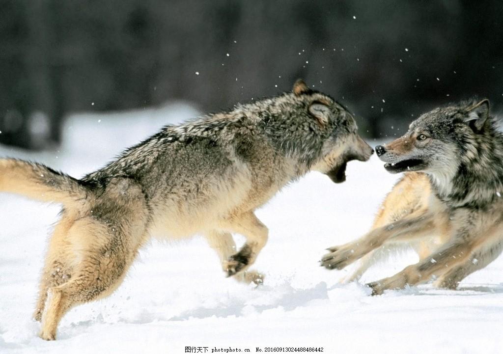 狼群 头狼 打架 雪原 追逐 摄影 生物世界 野生动物 300dpi jpg