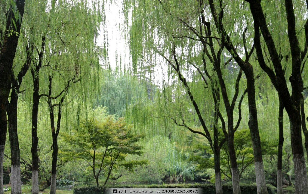 柳树 柳林 植物 山水 风景 生物 自然 绿色 自然风景 大自然 摄影