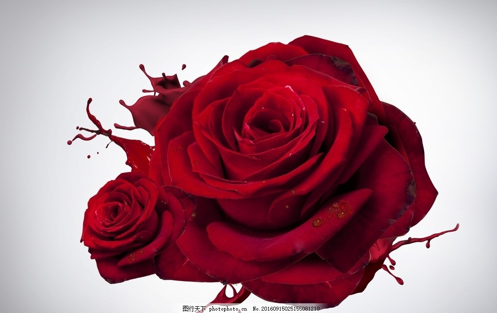 盛开的玫瑰图手绘
