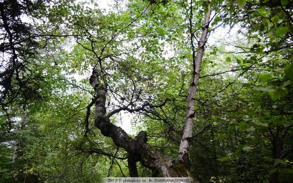 树木丛林摄影 树木 丛林 仰视树林 自然景观 风景 山水 摄影 摄影