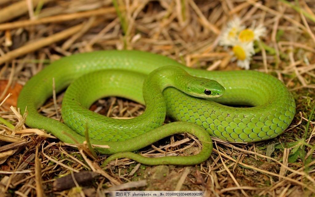 绿色蛇 绿色 蛇 冷血动物 摄影 高清 摄影 生物世界 野生动物 72dpi