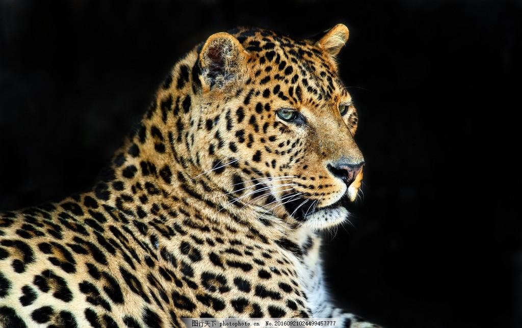 唯美 可爱 动物 凶猛 野生 豹子 花豹 摄影 生物世界 野生动物 300dpi