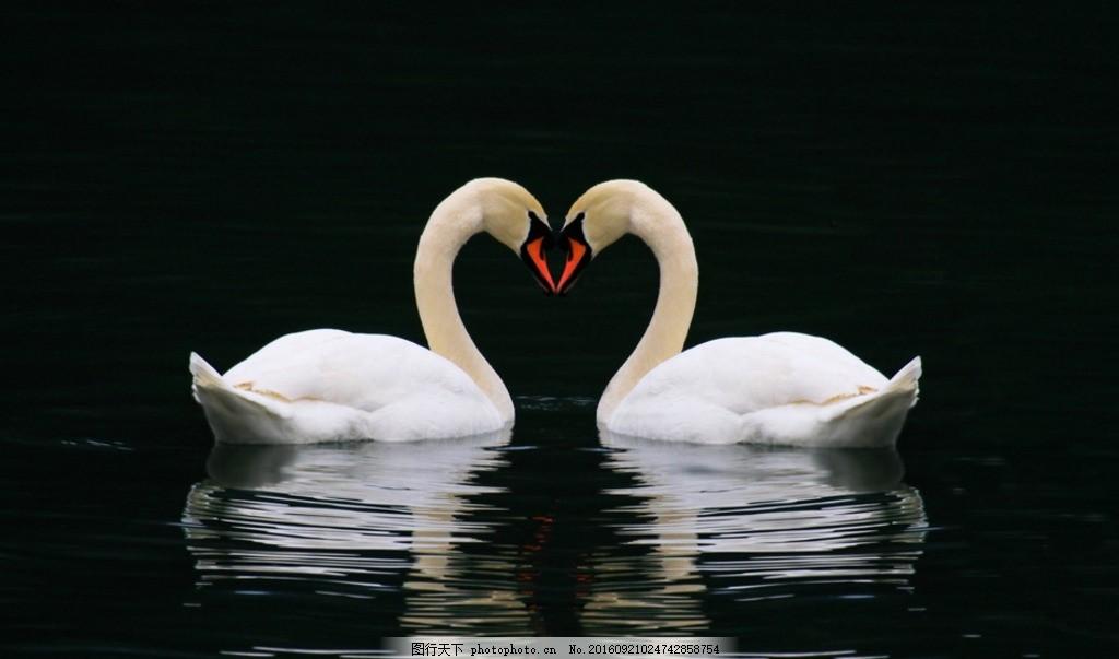 白天鹅 吉祥鸟 一双 图画 美丽 大自然 摄影 生物世界 鸟类 72dpi jpg