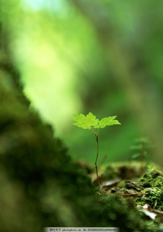 小树苗 树苗 嫩芽 嫩叶 植物 苔藓 地被 摄影 素材 花草植物树木 摄影